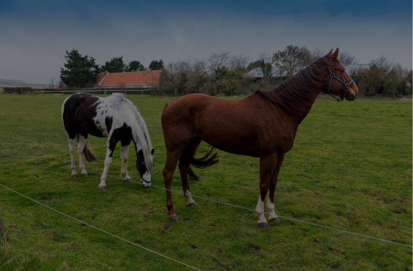 Horse Auctions