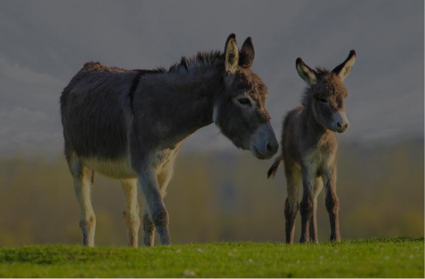 Donkey Auctions